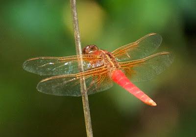 Neon Skimmer (Libellula croceipennis)