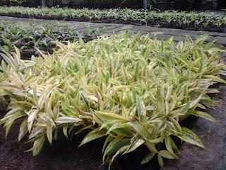 bibit stek tanaman hias bambu dracena golden