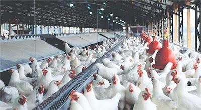 Cara Budidaya Ayam Broiler ( Panduan Pemula ) - Supplier Ayam