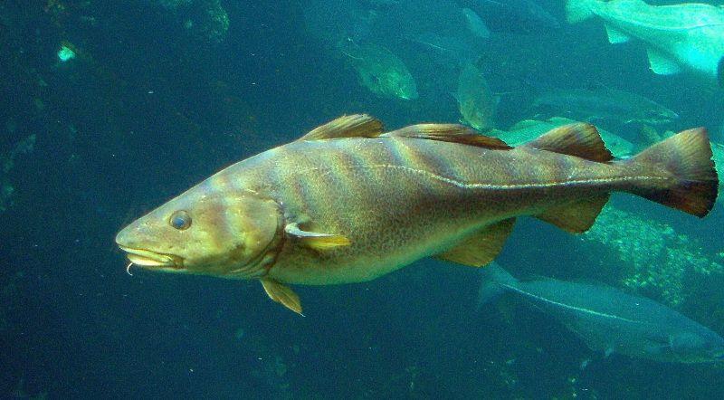 Gambar Ikan Laut Kod