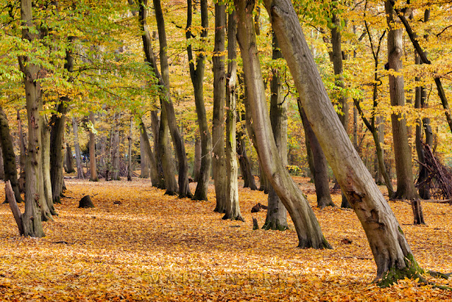 Trees in autumn colour in the Hinchingbrooke Country Park in Cambridgeshire