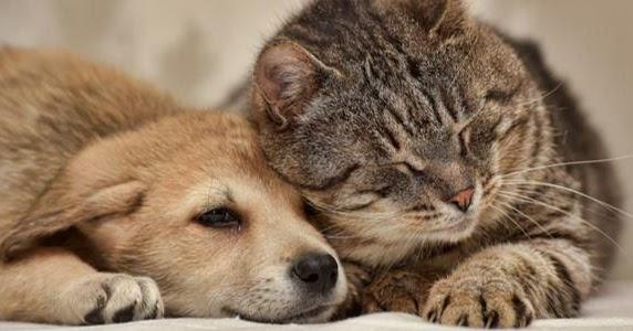 Infocardiovet: L'edema polmonare nel cane e nel gatto ...