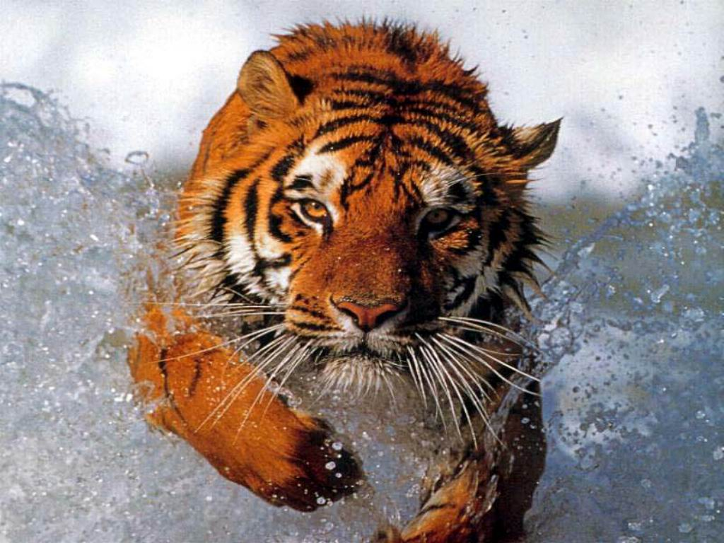 Tigers In Action Pictures ~ Wallpaper & Pictures