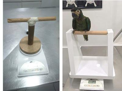 Duas imagens, a direita uma balança e em cima um poleiro improvisado de madeira. Já a imagem a esqueda mostra o modelo do suporte desenvolvido pela entrevistada com a papagaio.