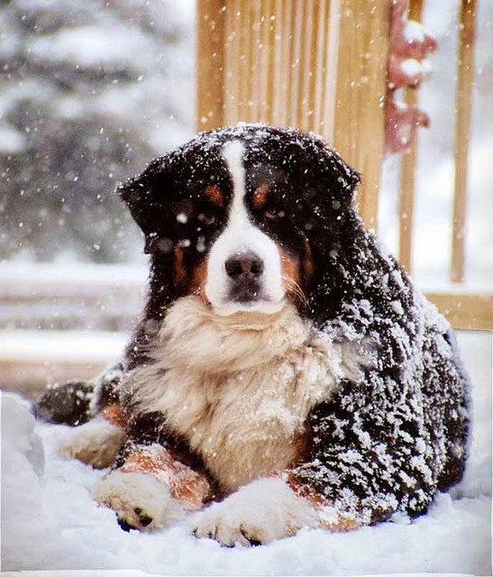 Fun Facts The Hardy Long Coated Bernese Mountain Dog Is Most At Home In Cold Weather It S Mainly Used For Hauling And Driving Herds Of Cattle
