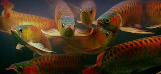 cara budidayaikan hias air tawar aquarium murah,membuat aquarium ikan hias air tawar,jenis,harga,air tawar untuk ekspor,di akuarium,pengertian,budidaya ikan hias air laut,