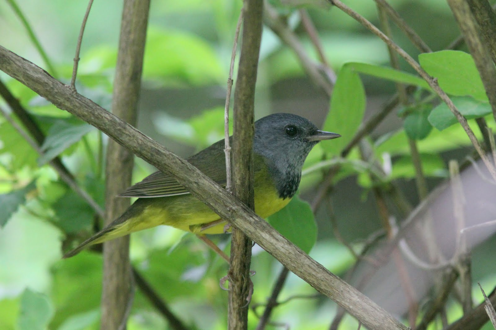 Quabbin birding and beyond: Mourning Warbler and others ...