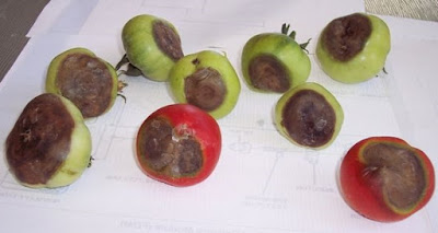 Image of tomato fruit with large dark brown spots at the blossom end of the fruit