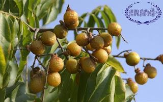 Ritha bitkisi