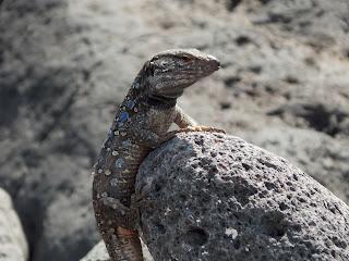 Lagarto tizón de Tenerife, Gallotia galloti. Fotografía de Noemí Rodríguez