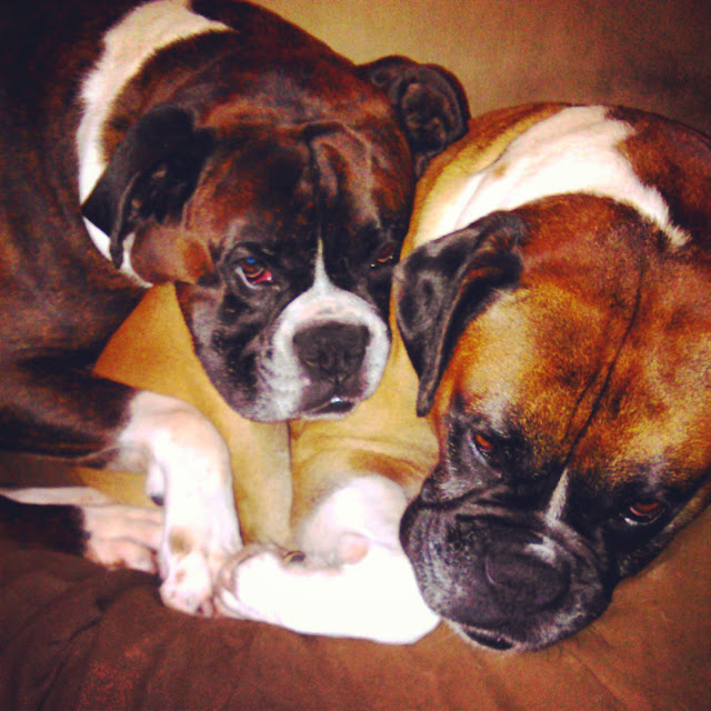 boxer dogs sleeping