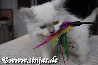 spielendes Britisch Langhaar Kitten