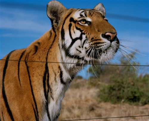South China Tiger photo by Bloomberg Business