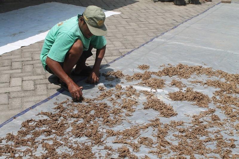 cara membuat pakan ikan nila organik dan alami