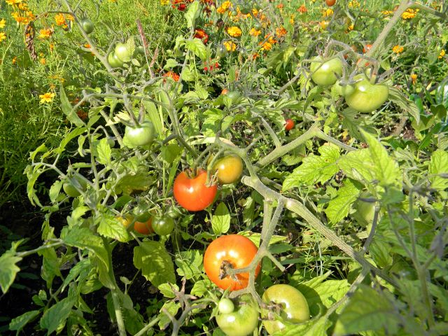 warzywa, ogród, dojrzewanie, działka warzywna