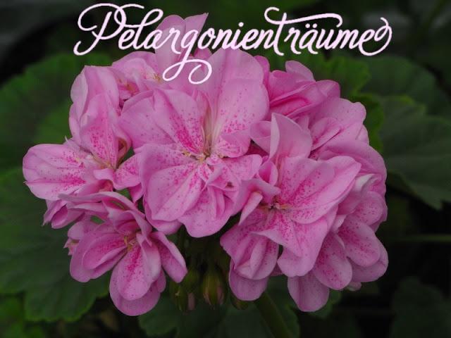 gefüllte-Pelargonie-Tupfen-violett-pink
