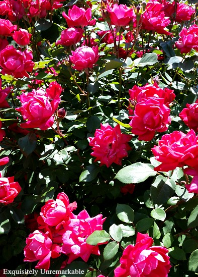 Hot Pink Roses In Bloom
