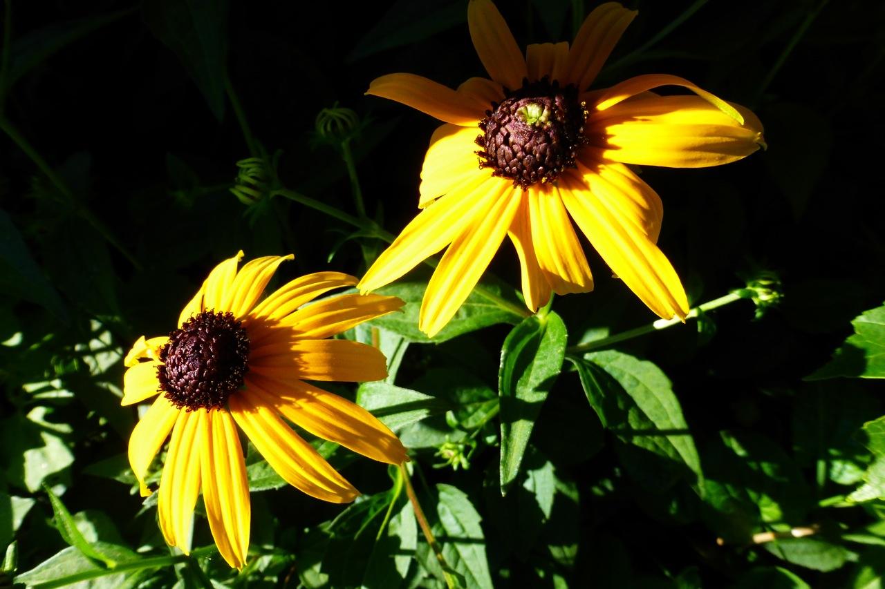 daisy, daisies, yellow daisy, yellow daisies
