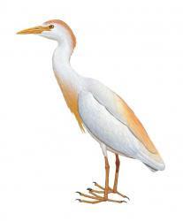 Bubulcus ibis (Kuntul Kerbau)