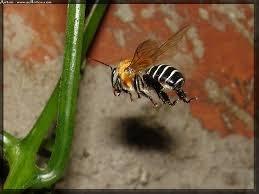 Uruçu (Melipona scutellaris)
