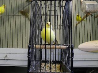 Burung Kenari Fife Fancy - Mengenal Burung Kenari Fife Fancy - Burung Kenari Yang Sangat Produktif