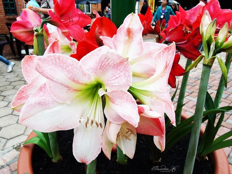 flores holambra 2013
