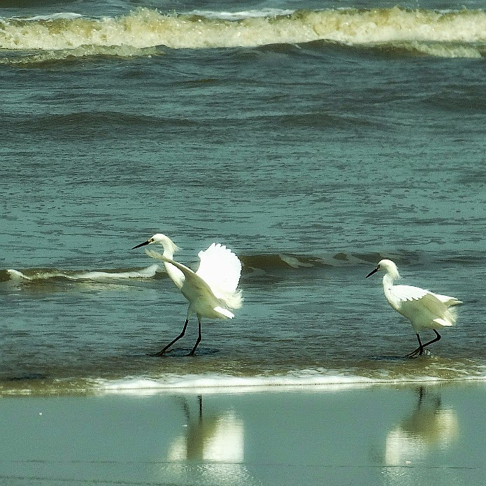Garças pousam na praia em busca de peixes - Parque Nacional da Lagoa do Peixe