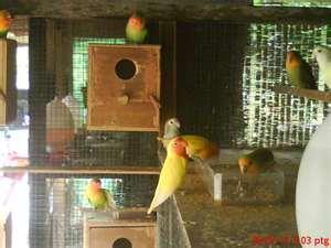 Tips Membuat Kotak Sarang Lovebird