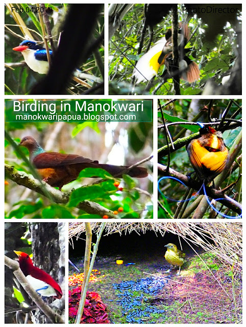 birding in Arfak mountains of Manokwari