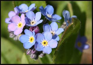 Flor nomeolvides