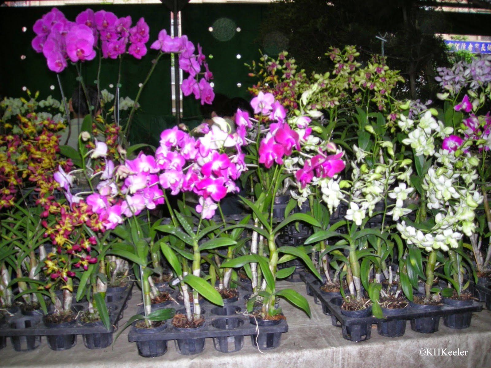 orchids for sale, Taiwan
