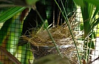 Ternyata Menangkarkan Burung Cucak Hijau Dapat Dilakukan Dengan Sangkar Harian