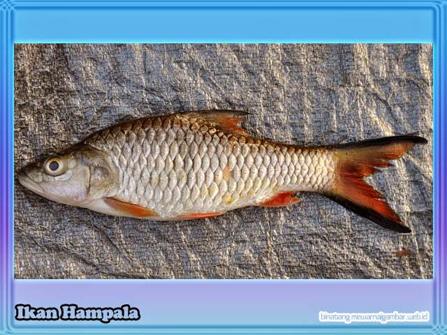 NamaNama Ikan Air Tawar