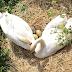 L'eccezionale covata della coppia di cigni del Roja
