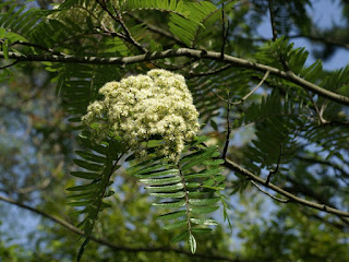Sorbier à feuilles scalaires - Sorbus scalaris