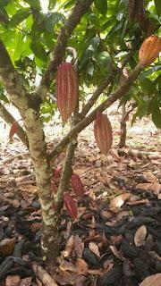 arbol árbol y frutos de cacao