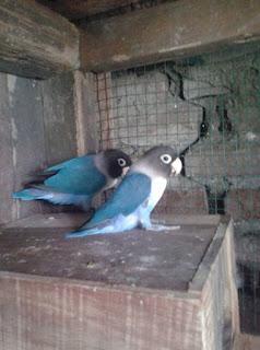 Hasil persilangan lovebird yang bagus dan bernilai jual tinggi