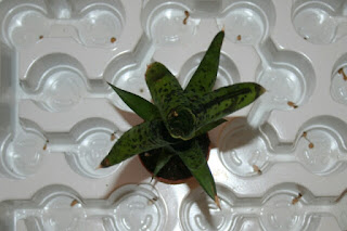 neoregelia pauciflora