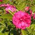 Roseira 'Grootendorst Suprême'