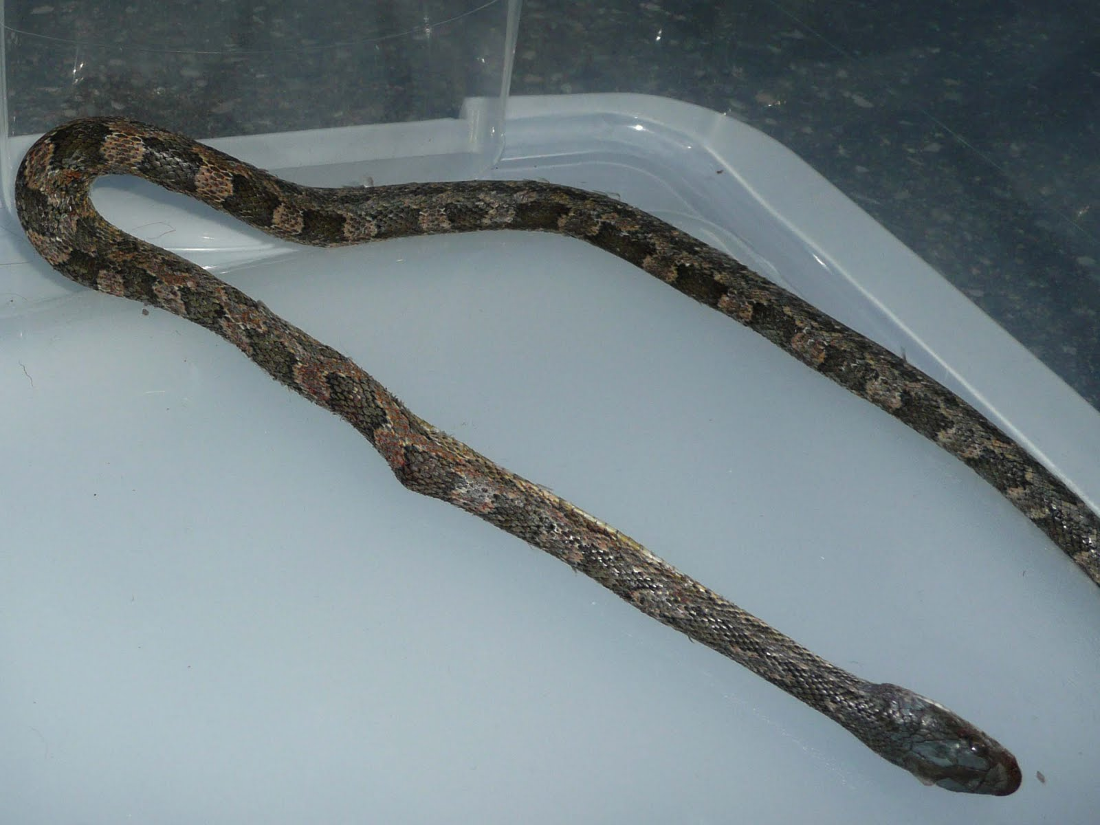 The Milkweed Patch Snake Killed By Air Conditioner