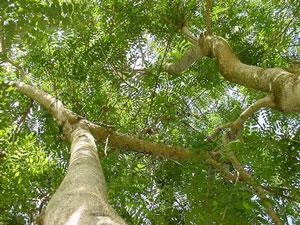 Pohon johar tanaman peneduh