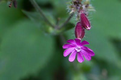 Silene dioica – Red Campion (Silene dioica)