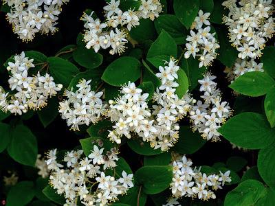 Hime-utsugi (Deutzia gracilis) flowers: Kita-kamakura