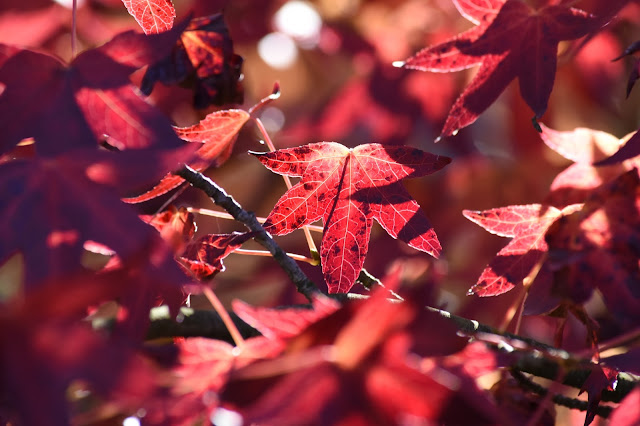 Crimson Leaves by Carol