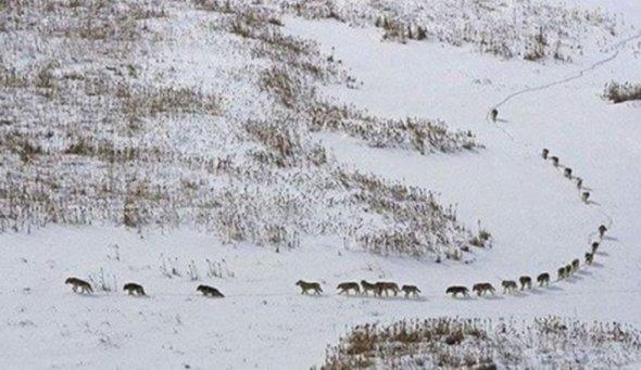 Ce putem invata de la o haita de lupi?