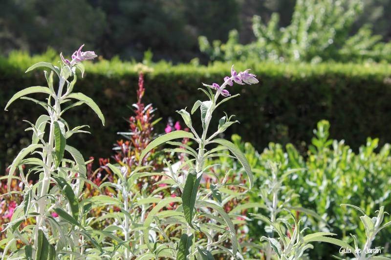 Salvia y gaura