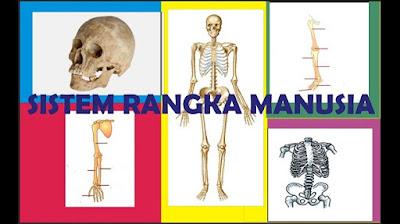 Sistem Rangka pada Tubuh Manusia - berbagaireviews.com