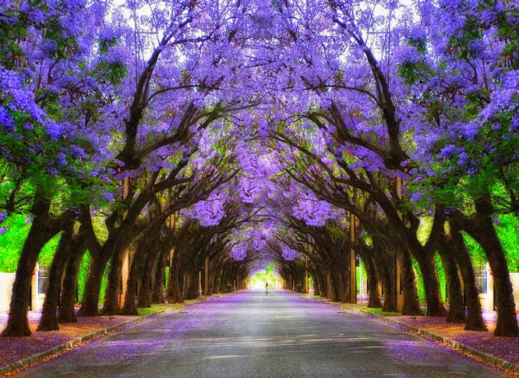 6. Jacarandas Walk, South Africa - 29 Wonderful Paths