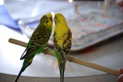 boy and girl parakeets