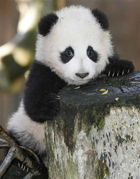 Cute Baby Panda Pictures Amazing Creatures